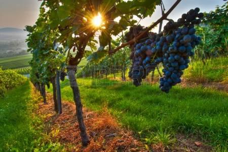 10346008-raisins-dans-un-vignoble-en-allemagne