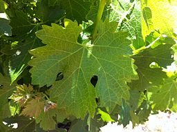 256px-petite_sirah_leaf