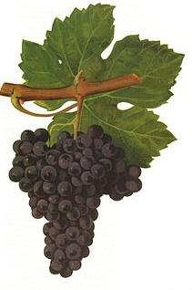 cabernet-franc
