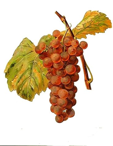 Chasselas Violet light red grape variety from Ampelographie Traite general de Viticulture 1903 with painting by A Kreyder and E.J. Troncy