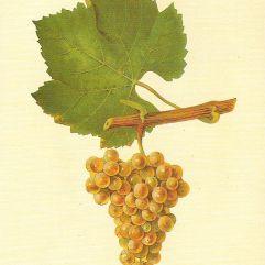 Chardonnay_Viala_u._Vermorel_1901_-_1910