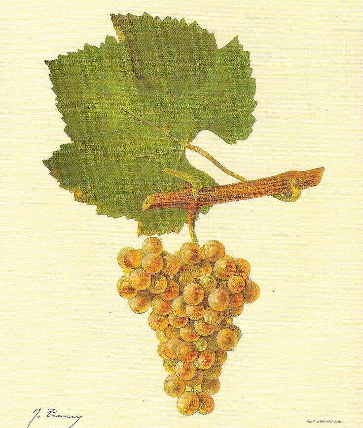 Chardonnay_Viala_u__Vermorel_1901_-_1910