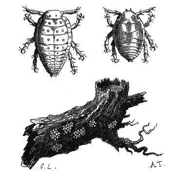 La_Nature_-_1873_-_Fig._2_Phylloxéra_-_p021